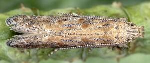 Scrobipalpa salinella 66 6