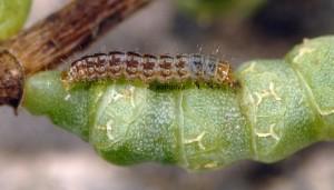 Scrobipalpa salinella L5 66 5