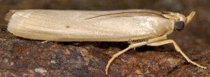 Selagia argyrella 05 1