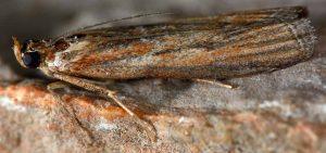 Selagia spadicella 34 1