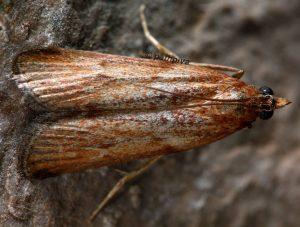 Selagia spadicella 34 2