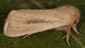 Sesamia nonagrioides 2