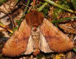 Sideridis lampra (I)