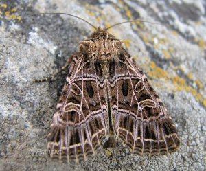 Sideridis reticulata