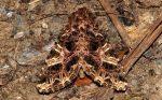 Sideridis rivularis (I)