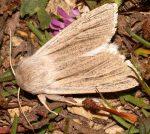 Simyra albovenosa (I, L5)