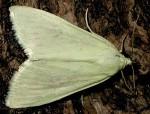 Sitochroa palealis 06 1