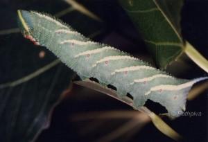 Smerinthus ocellata L5