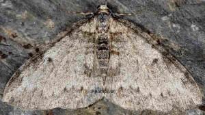 Solitanea mariae 06 1