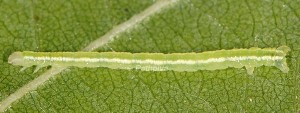 Solitanea mariae L3 2B 1