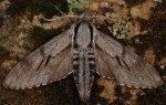 Sphinx maurorum (I)