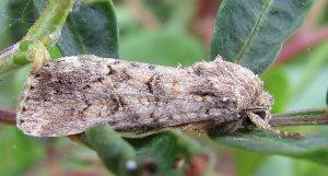 Spodoptera cilium 1