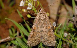 Spodoptera exigua