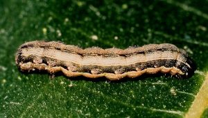 Spodoptera exigua L5