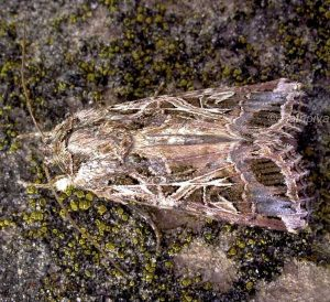Spodoptera littoralis 2