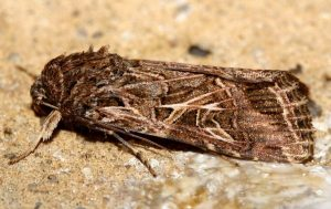 Spodoptera littoralis 3
