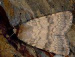Standfussiana lucernea (I)