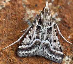 Stemmatophora borgialis 34 1