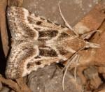 Stemmatophora borgialis 66 1