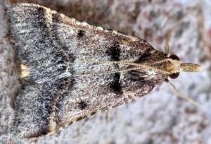 Stemmatophora brunnealis 34 2