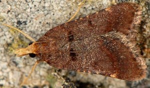 Stemmatophora brunnealis femelle 2B 1