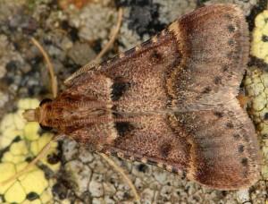 Stemmatophora brunnealis male 2B 1