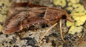 Stemmatophora brunnealis male 2B 2