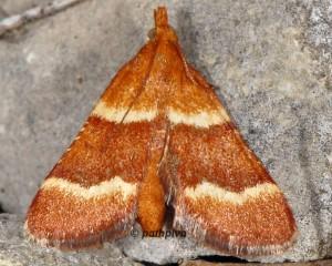 Stemmatophora combustalis 04 2