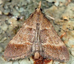 Stemmatophora-rungsi-13-1