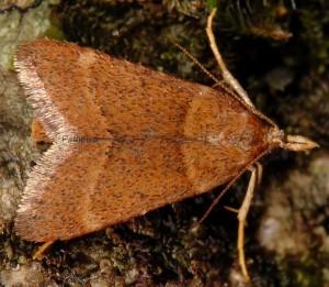 Stemmatophora rungsi femelle 34 1