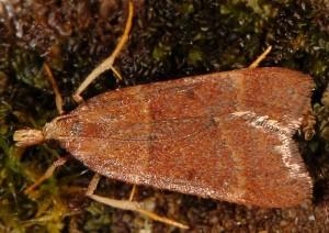 Stemmatophora rungsi femelle 34 2