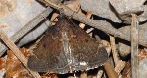 Stemmatophora syriacalis 66 1