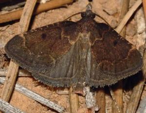 Stemmatophora syriacalis 66 2
