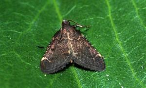 Stemmatophora syriacalis 66 3