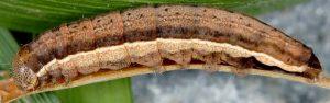 Stilbia faillae L5 5