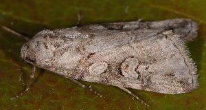 Stilbia philopalis 1