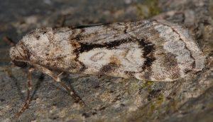 Stilbia philopalis 2