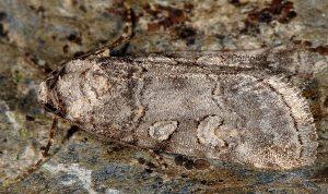 Stilbia philopalis 3