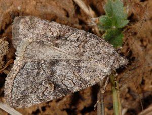Stilbia philopalis 4