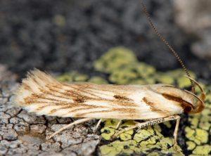 Stomopteryx detersella 05 1