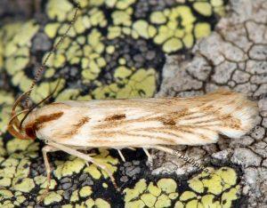 Stomopteryx detersella 05 2