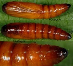 Synaphe punctalis chrysalide 06 1