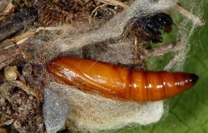 Synaphe punctalis cocon 06 1