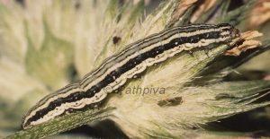 Synthymia fixa L5 5