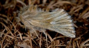 Teinoptera olivina