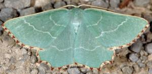 Thalera fimbrialis 06 1