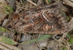 Thalpophila matura 1