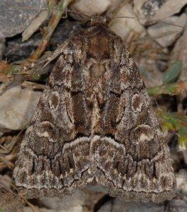 Thalpophila matura 2