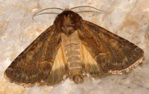 Thalpophila matura 3