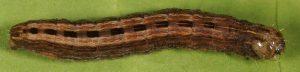 Thalpophila matura
